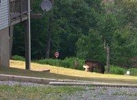 Bear at feeder, as seen from driveway of cabin  [i] Originally uploaded by Joe Zelinski [/i] [i] 09 July 2002 [/i]